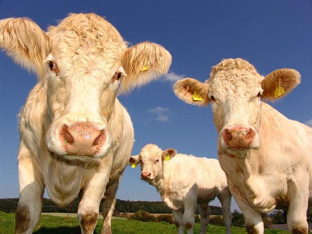 Comment bien écorner les bovins?